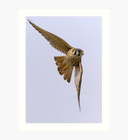 American kestrel in flight Art Print