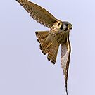 American kestrel in flight by Mundy Hackett