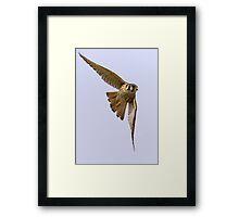 American kestrel in flight Framed Print