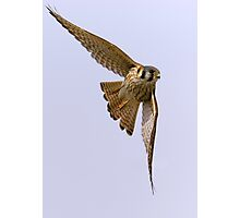American kestrel in flight Photographic Print