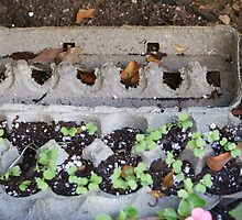 New Beginnings - Egg crates make a great start for new seedlings.  Then plant directly into the ground when ready! by leih2008