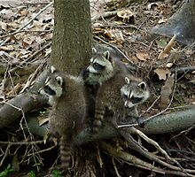 Baby Racoons by Molly  Kinsey