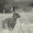 Black & White Sitting Hare by James Stevens