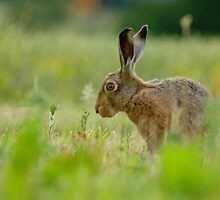 Lepus Europaeus by James Stevens