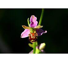 Ophrys Apifera - Macro Photographic Print