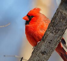 Male Cardinal in the Woods by Kenneth Keifer
