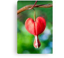 Red Bleeding Heart Flower Canvas Print