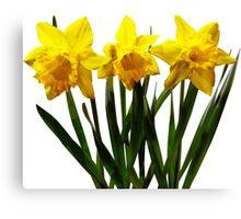 Daffodil Trio Canvas Print
