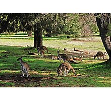 Kangaroos galore Photographic Print