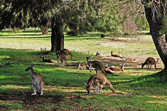 Kangaroos galore by georgieboy98