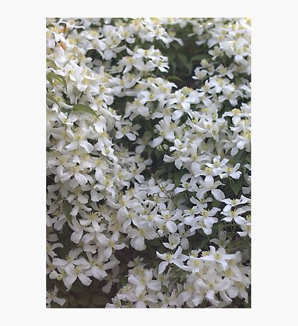 White blossom Photographic Print