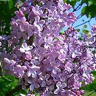 Lilac by annierose