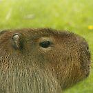 Capybara by Ann Heffron
