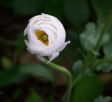 The Winking ranunculus by Leah wilson