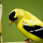 Young Yellow Finch by Bahoke