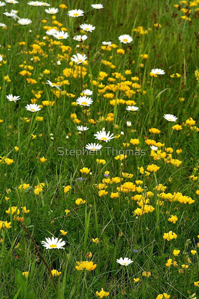 Wild flowers and grass by Stephen Thomas