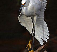 Snowy Egret by tomryan