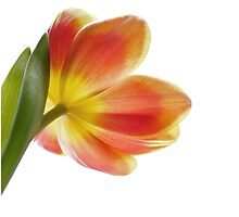 Bright Tulip by Alyson Fennell