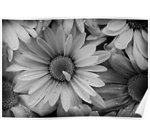 Daisies in Black and White Poster