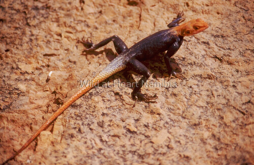 Namib Male Rock Agama, Namibia by Wild at Heart Namibia