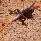 Namib Male Rock Agama, Namibia by Wild at Heart Namibia