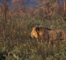 Lion on the hunt, Namibia by Wild at Heart Namibia
