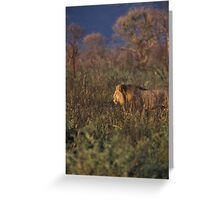 Lion on the hunt, Namibia Greeting Card