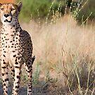 Cheetah on alert, Damaraland, Namibia by Wild at Heart Namibia