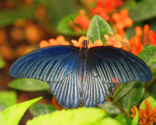 Blue Wings by Gaby Swanson  Photography