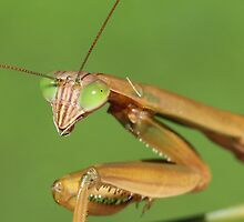 Praying Mantis by Sheryl Hopkins