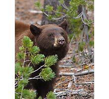 Black Bear with Cinnamon Color Photographic Print