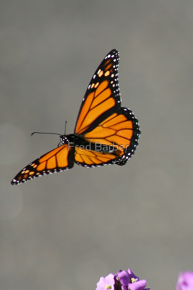 Monarch In Flight by Fred Barber