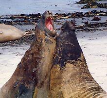 elephant seals by dougie1