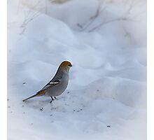 Pine Grosbeak Photographic Print