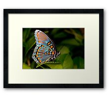 Red Spotted Purple Butterfly Framed Print