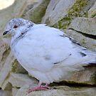 Pretty Pigeon,,,,,,,,,,, by lynn carter