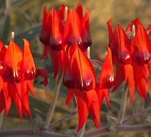 Sturt's Desert Pea by Blue Gum Pictures
