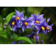 Solanum Crispum Potato Vine Photographic Print