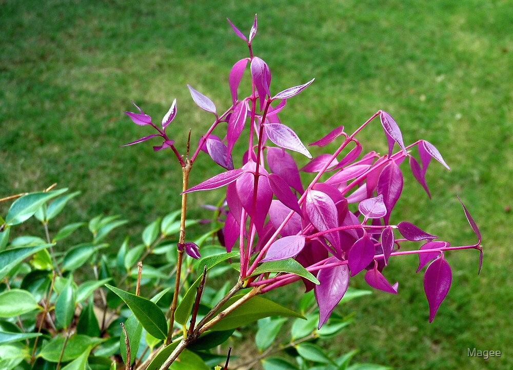 New Lillipilly shoots........Syzygium Cascade by Magee