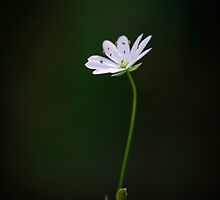 Small but Beautiful by Andreas Stridsberg