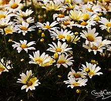 Field of Sunshine by cherylc1