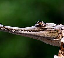 slender nose crocodile by Gideon du Preez Swart