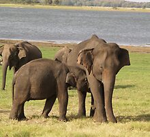Minneriya Elephants by Jonathan Dower