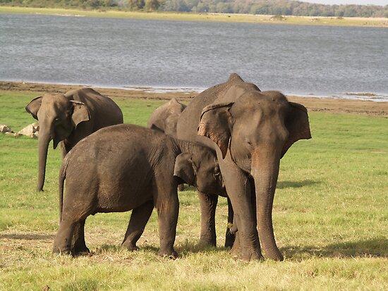 Minneriya Elephants by Jonathan Dower
