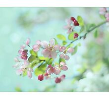 Japanese Crabapple Blossom  by Alyson Fennell