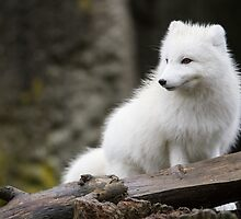 An Arctic Fox in its Winter Coat by journeysincolor