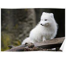 An Arctic Fox in its Winter Coat Poster