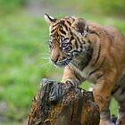 Sumatran Tiger Cub Playing by journeysincolor