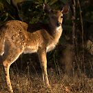 Spotted Deer Fawn by Steve Bulford