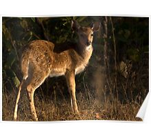 Spotted Deer Fawn Poster